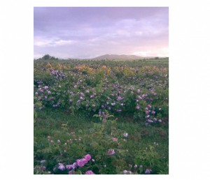 balgarska roza