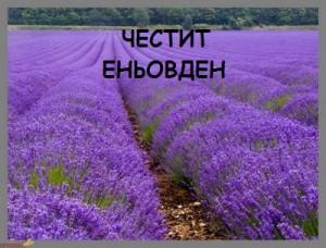lavender.1